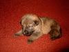 Pup Django Caya B