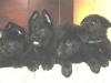 Pups D nest Kiridesja 4 wkn